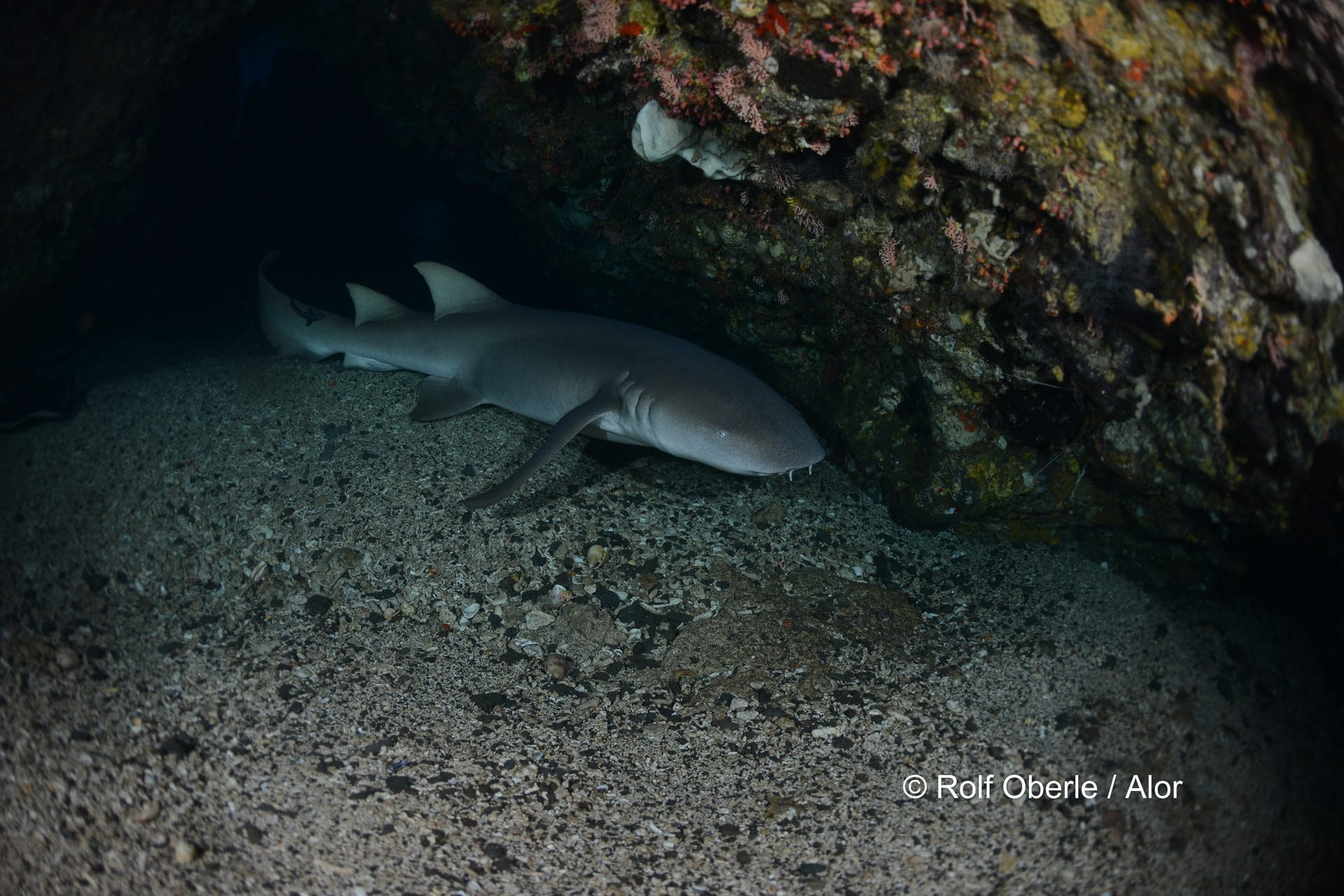 Thawny Nurse Shark - Wolang Caves, Alor - Rolf Oberle
