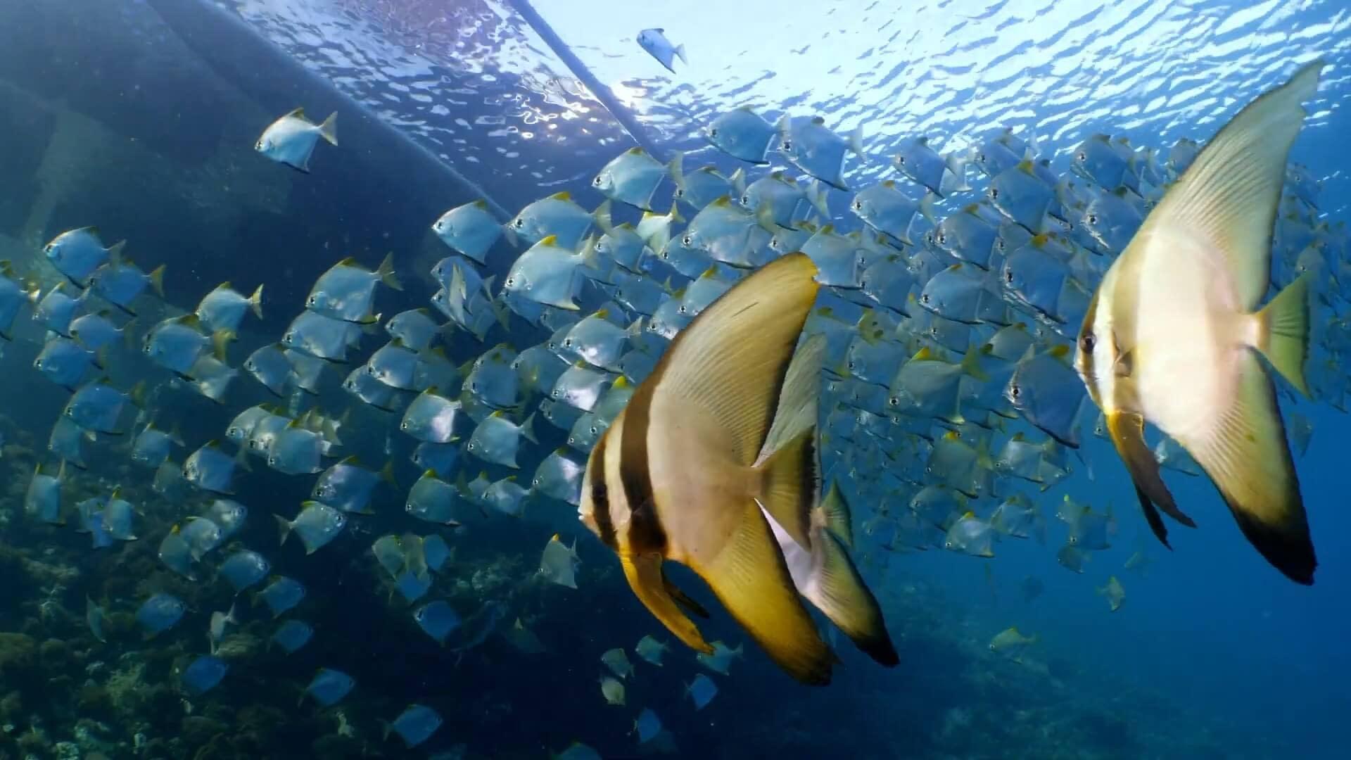 House Reef Diamondfish School Next To The Alami Jetty