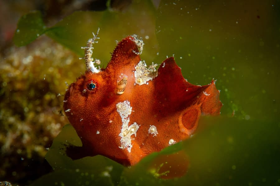 Ocellated Frogfish Alor - Didier Torregrossa