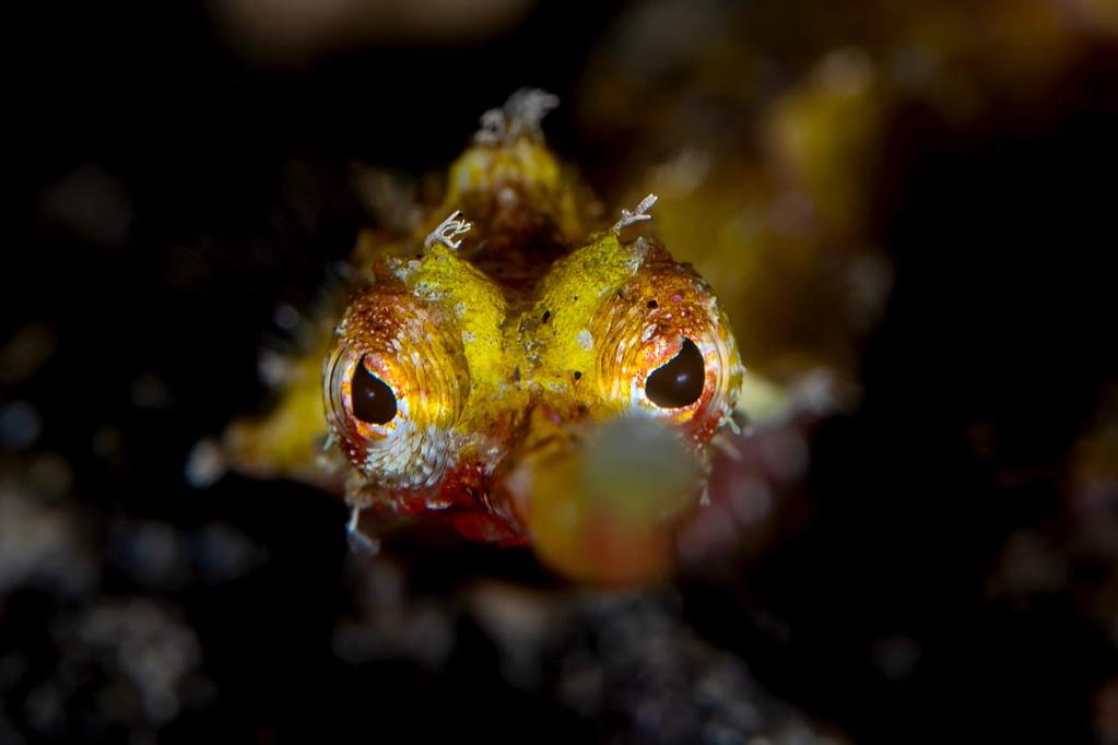 Winged Pipefish - Alor - Faris Alsagoff