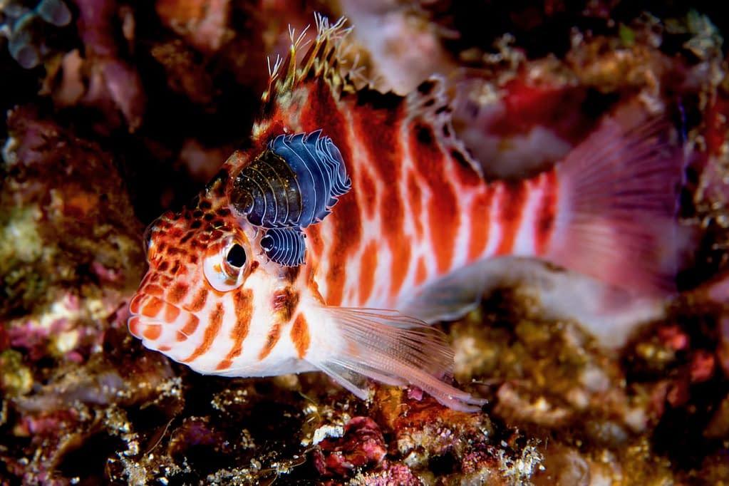 Hawkfish with parasitic Isopods - Alor - Faris Alsagoff