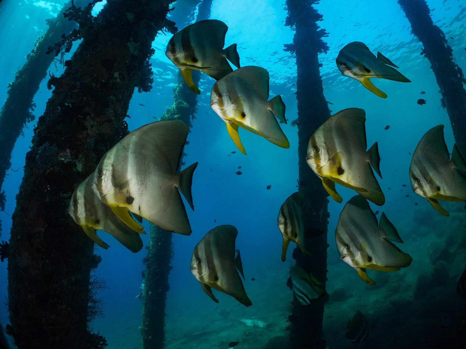 Batfish - Bakalang Pier Alor - Richard Stevens Black Manta Photography