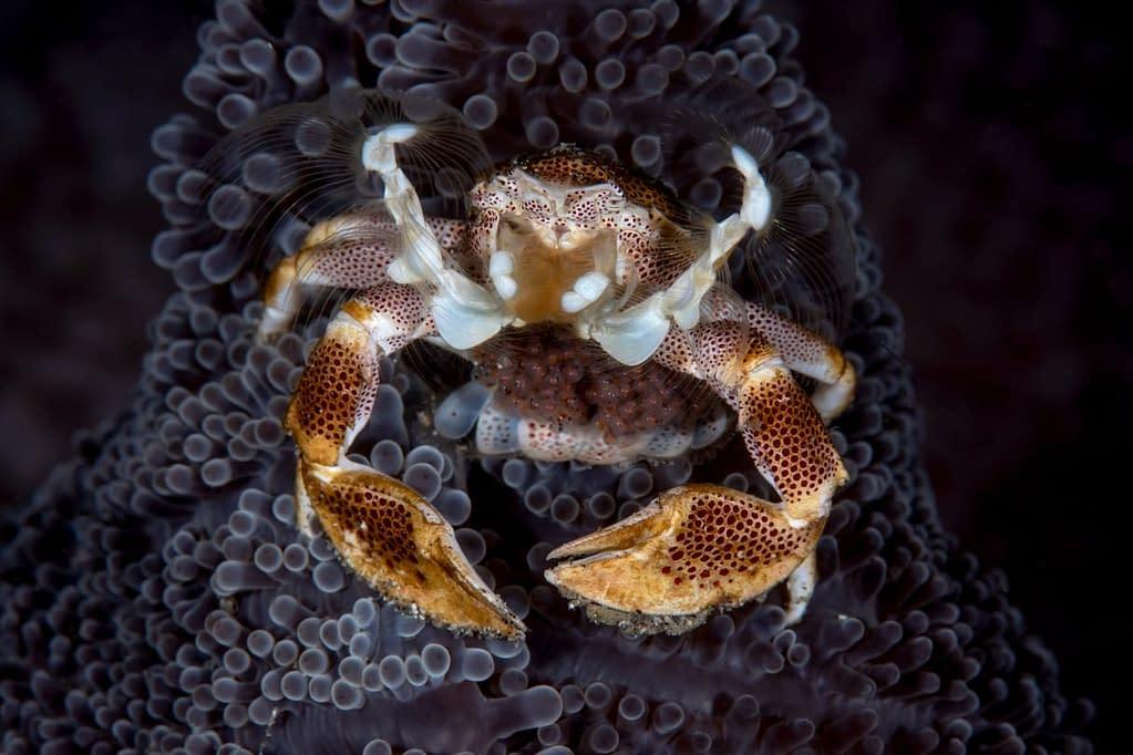 Porcelain Crab with Eggs - Alor - Faris Alsagoff