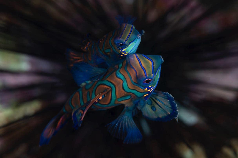 Mating Mandarinfish - Alor - Faris Alsagoff