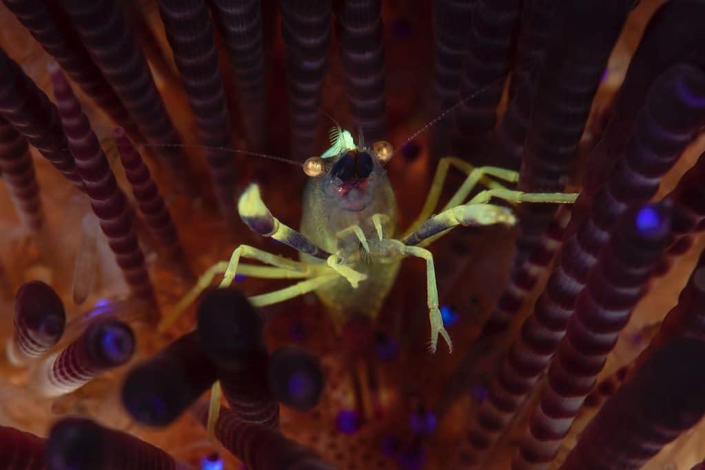 Brook's Urchin Shrimp - Alor - Faris Alsagoff