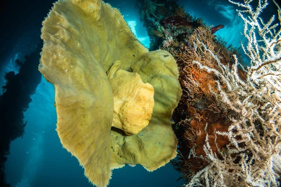 Frogfish on Sponge at Pier - Guest Gallery - Gennady Elfimov - Alami Alor Dive Resort