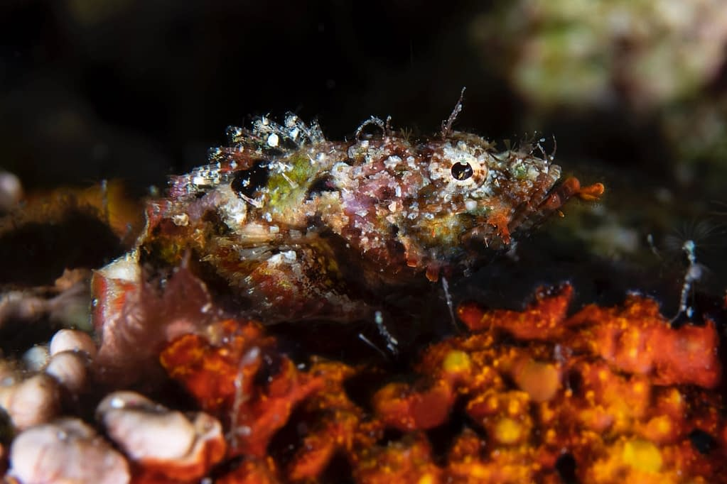 Juvenile Scorpionfish - Alor - Faris Alsagoff