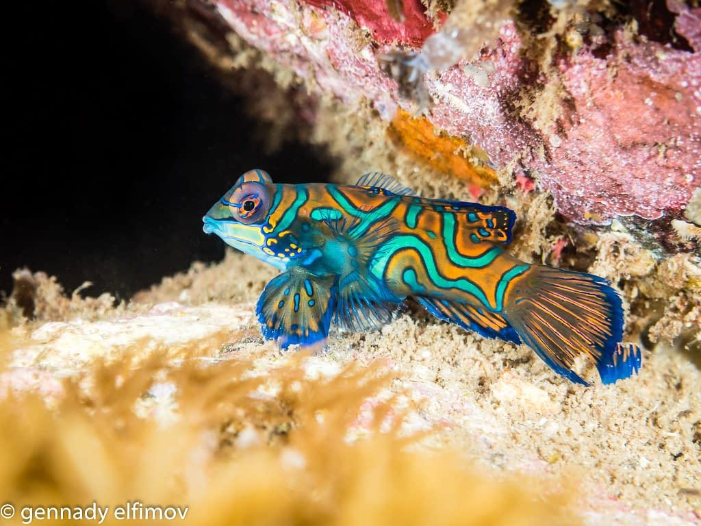 Mandarinfish - Guest Gallery Image - Gennady Elfimov - Alami Alor Dive Resort