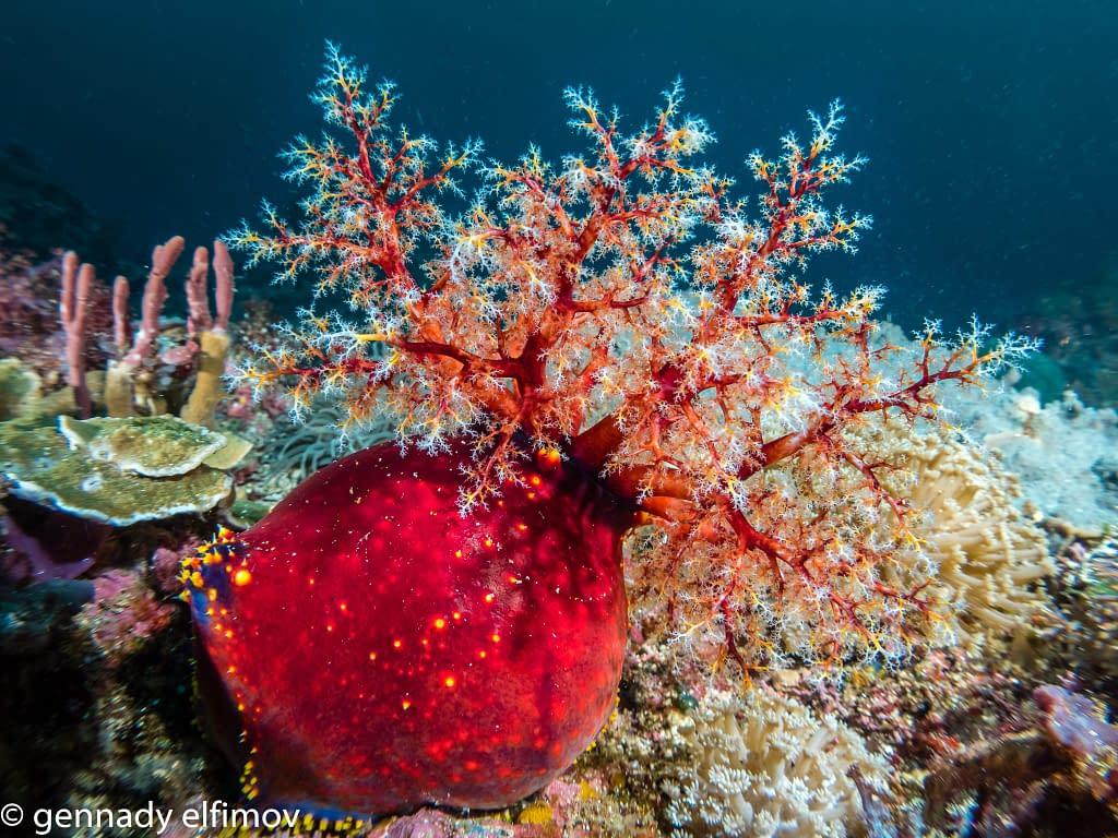 Sea Apple - Guest Gallery Image - Gennady Elfimov - Alami Alor Dive Resort