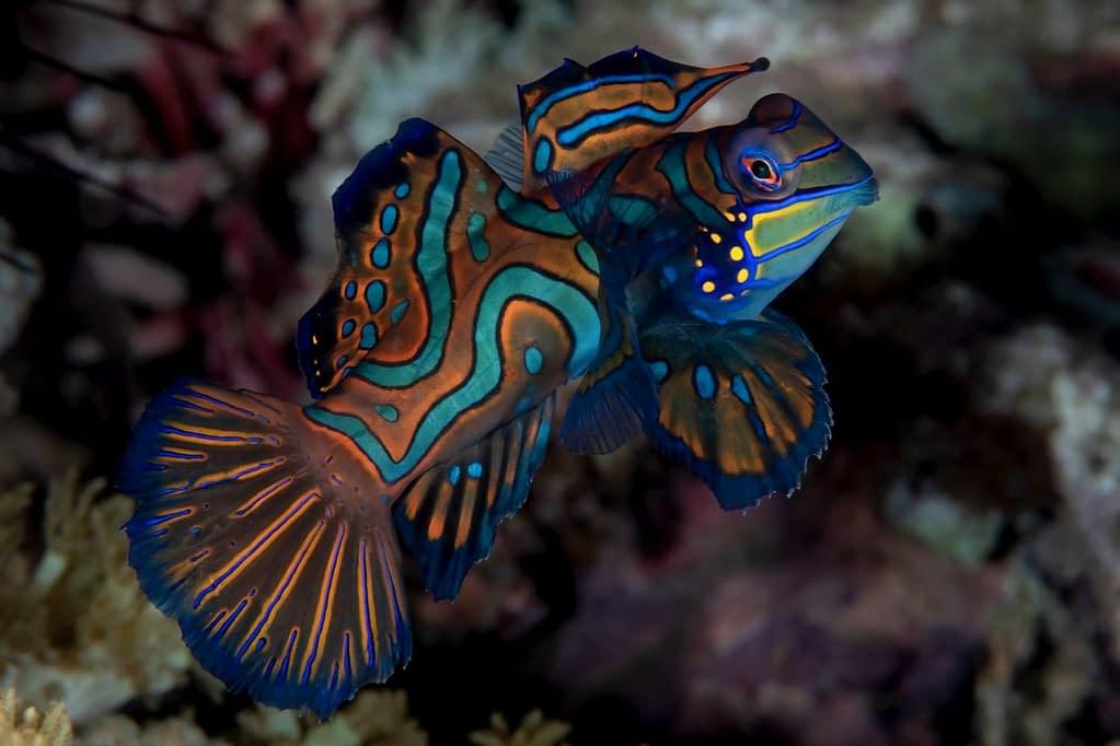 Mandarinfish - Alor - Faris Alsagoff