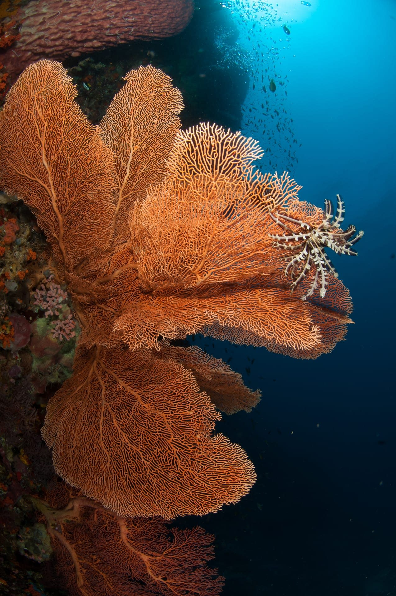 Gorgonian Fan Alor