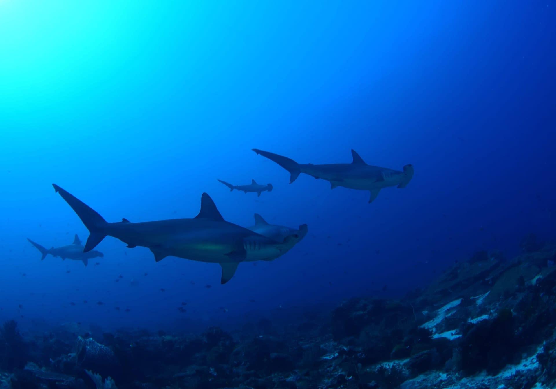 Hammerhead Sharks Alami Alor