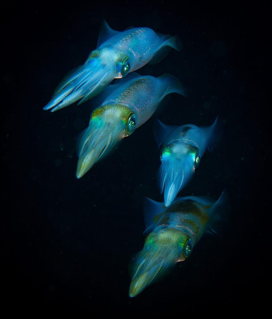 Big-fin Reef Squid Alor