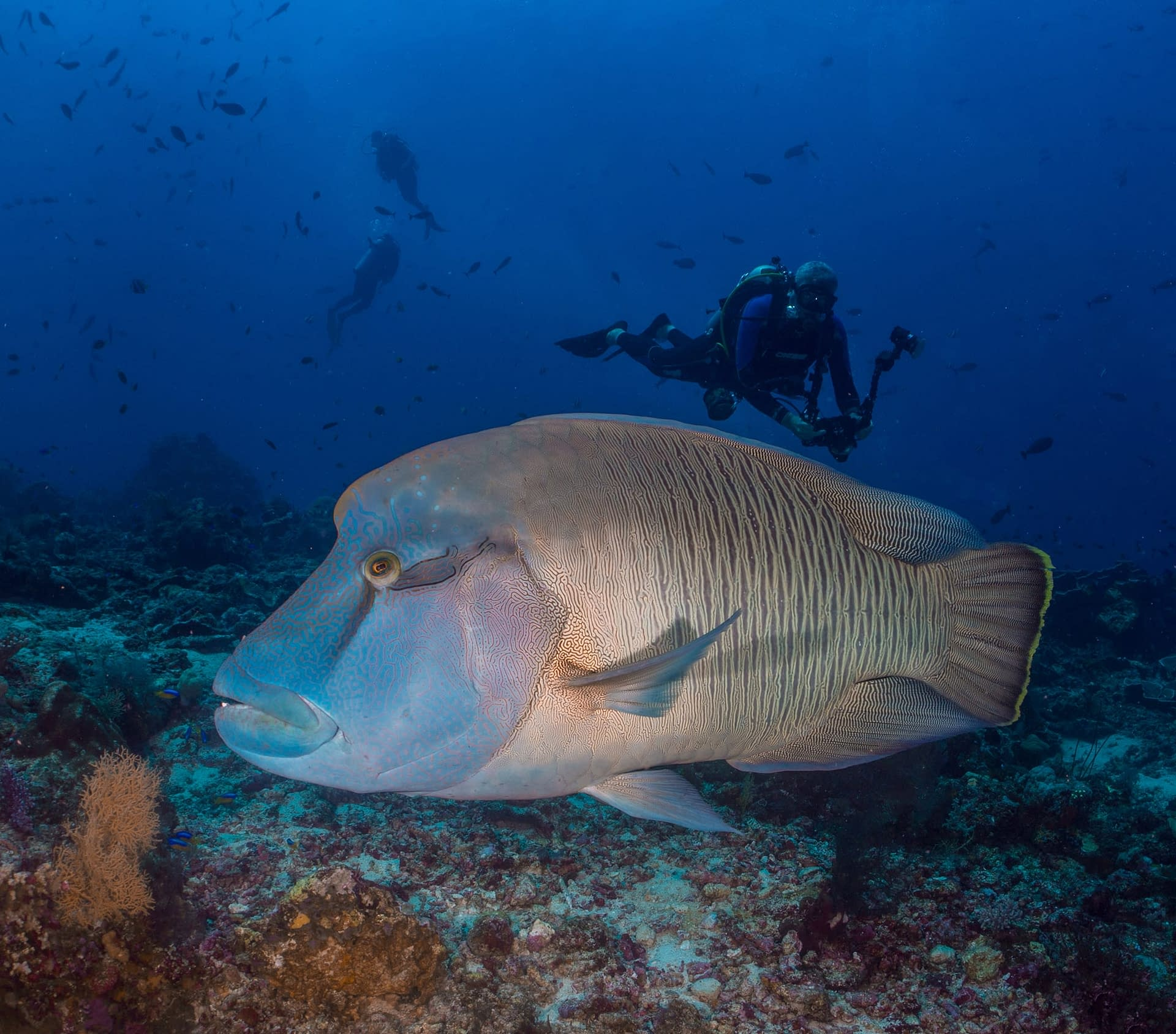 Napoleon Wrasse - Richard Stevens, Black Manta Photography