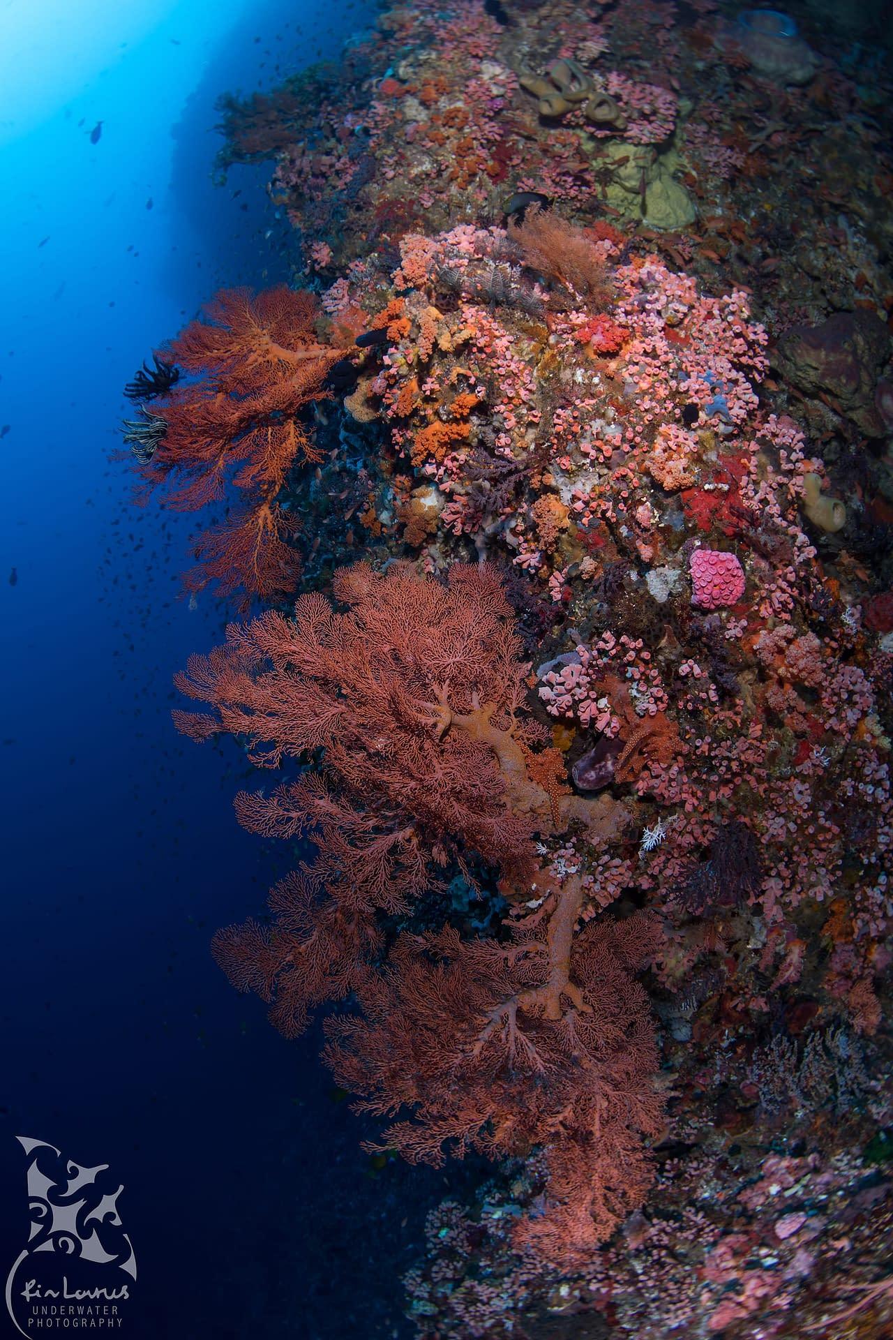 Wall Dive - Alor - Ririn Laurus