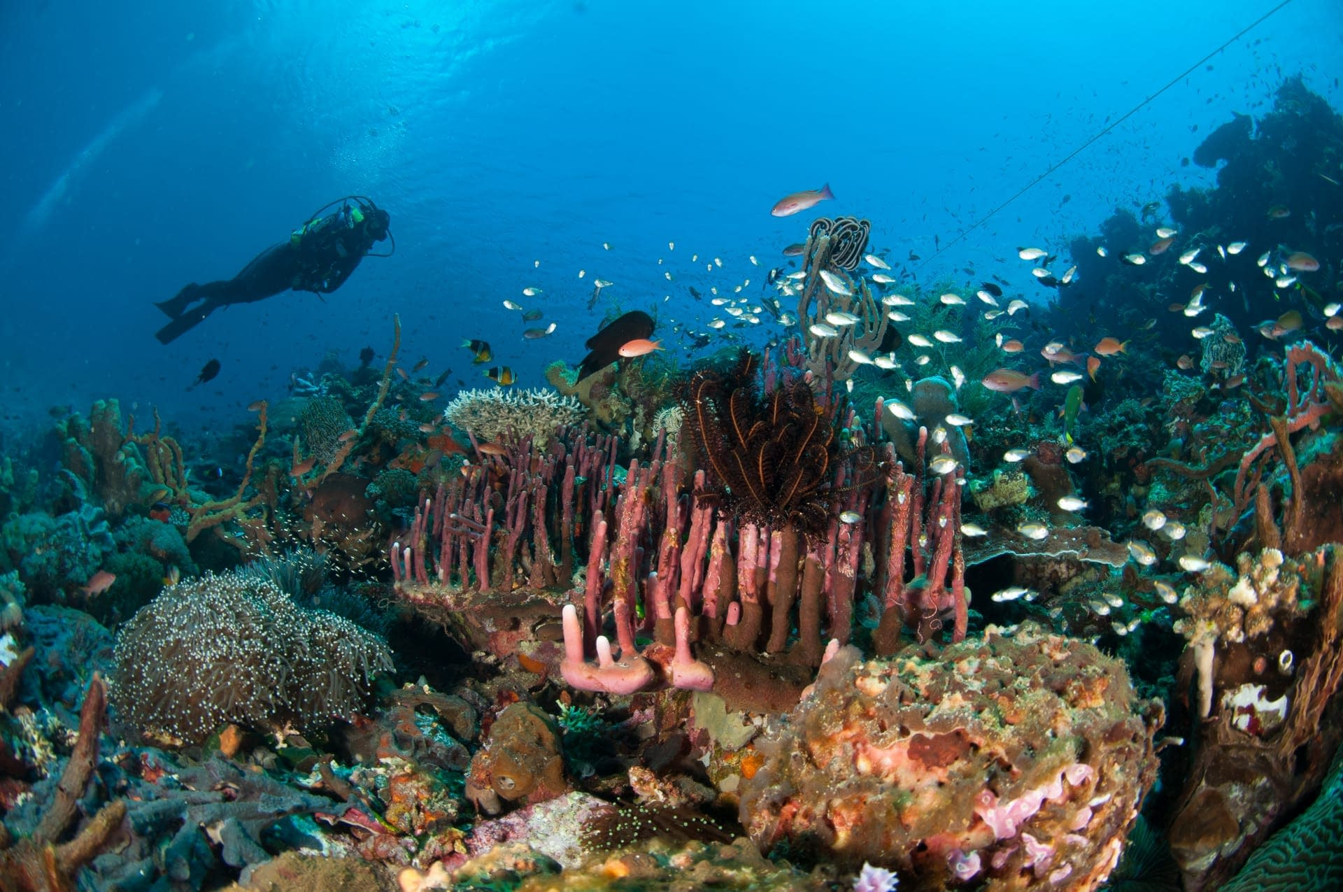 Diver on Coral Reef Slope - Alor - Tancredi Guerrerio