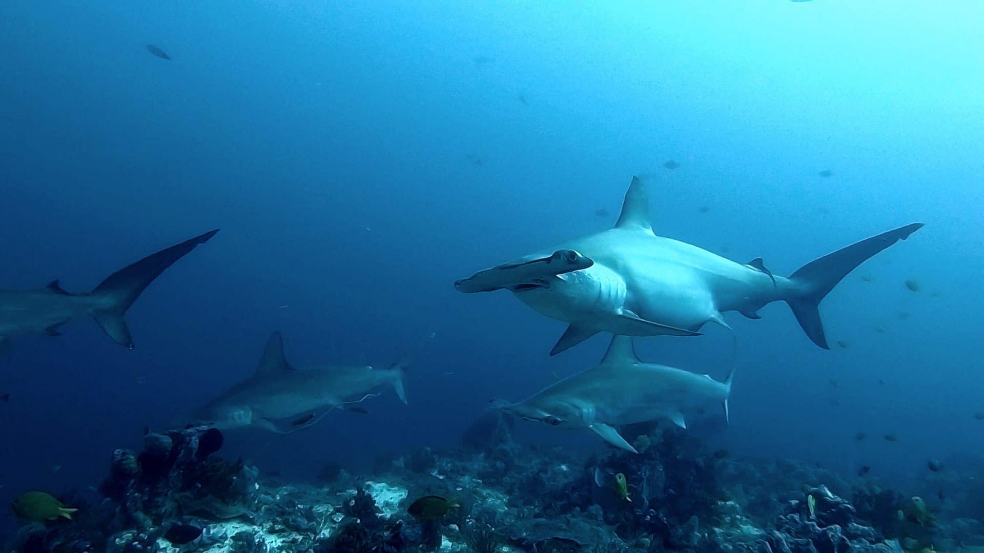 Hammerhead Sharks Alor - Alami Alor Dive Resort