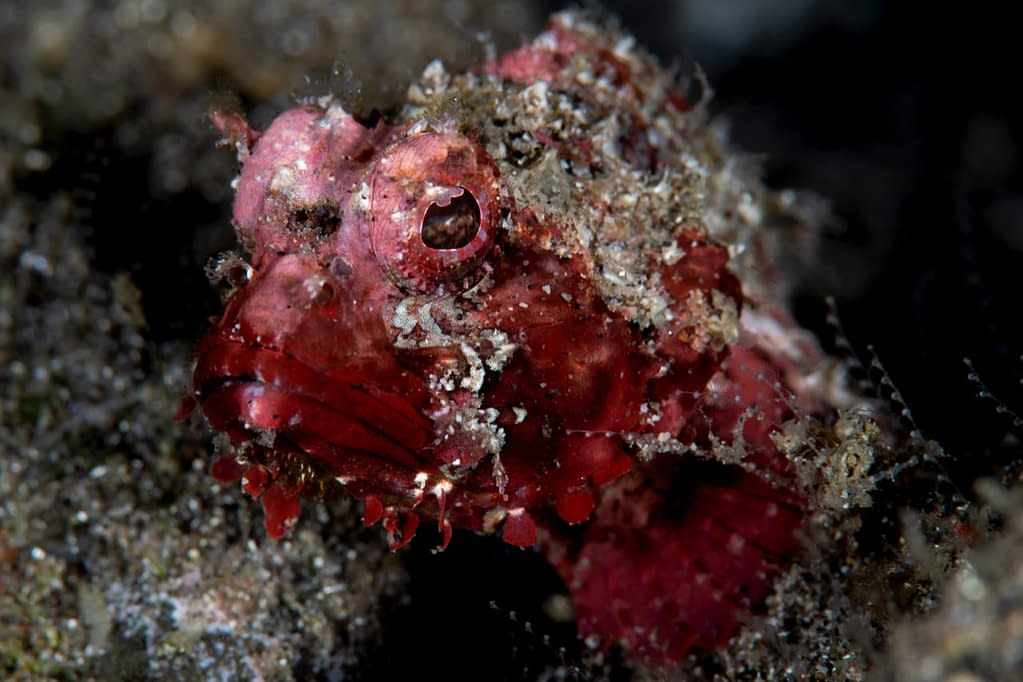 Scorpionfish - Alor - Faris Alsagoff