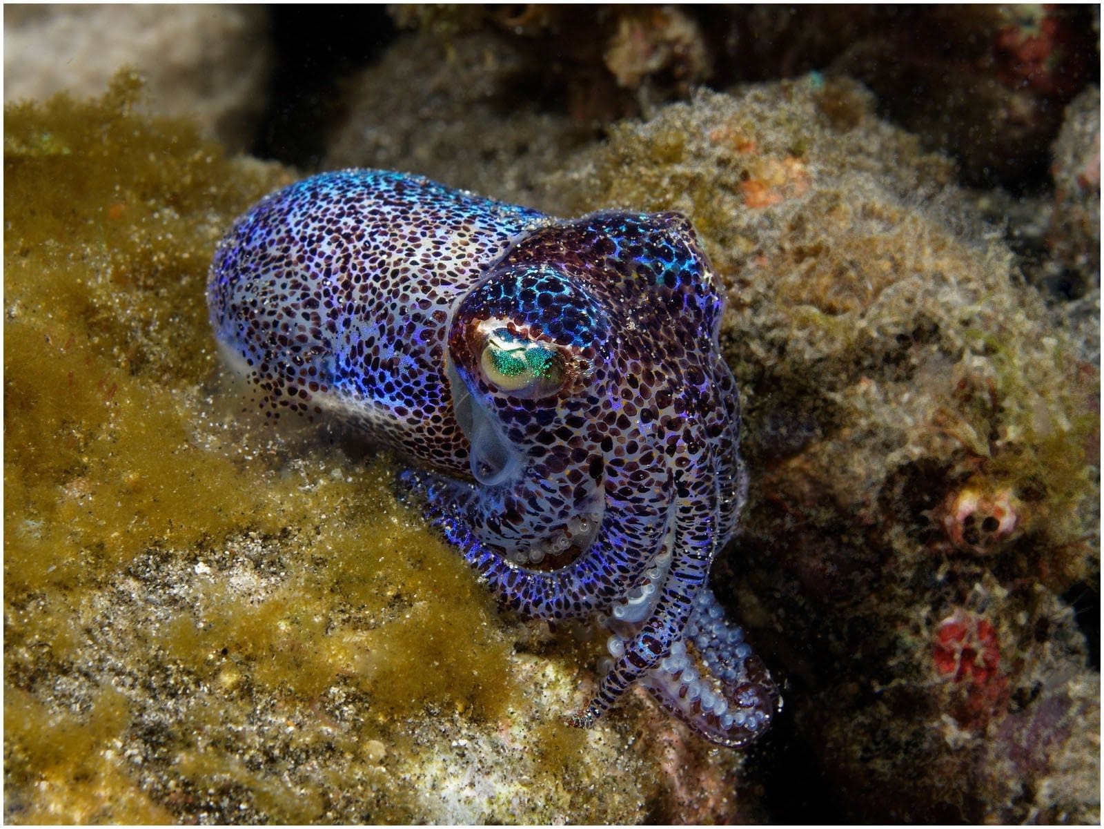 Bobtail Squid Muck Diving Alor Indonesia