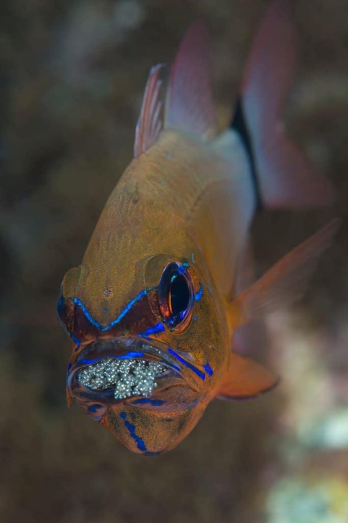 Ringtail Cardinalfish with Eggs - Alor - Faris Alsagoff