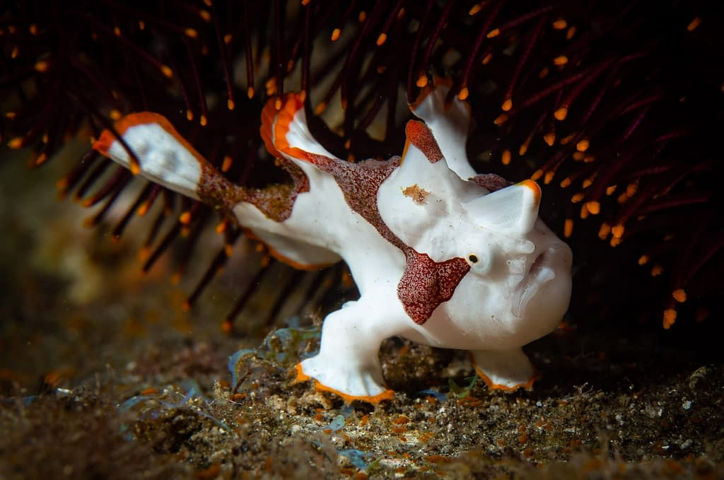 Juvenile Clown Frogfish