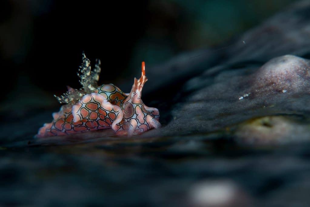 Psychedelic Batwing Slug - Alor - Faris Alsagoff