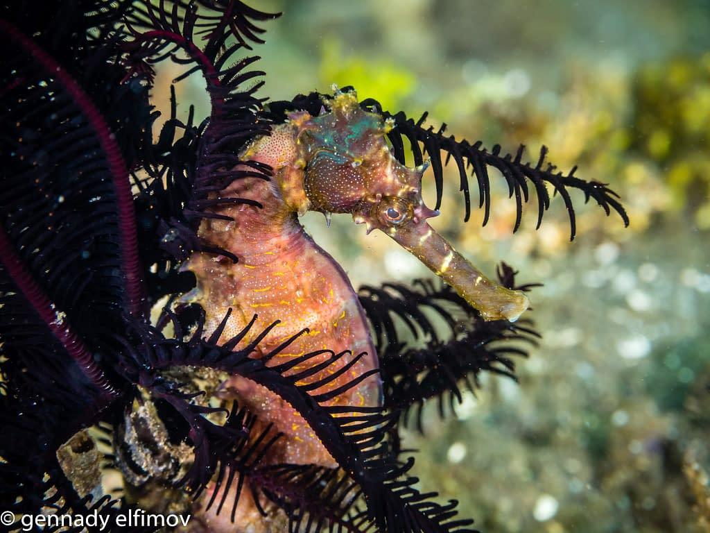 Seahorse - Guest Gallery Image - Gennady Elfimov - Alami Alor Dive Resort