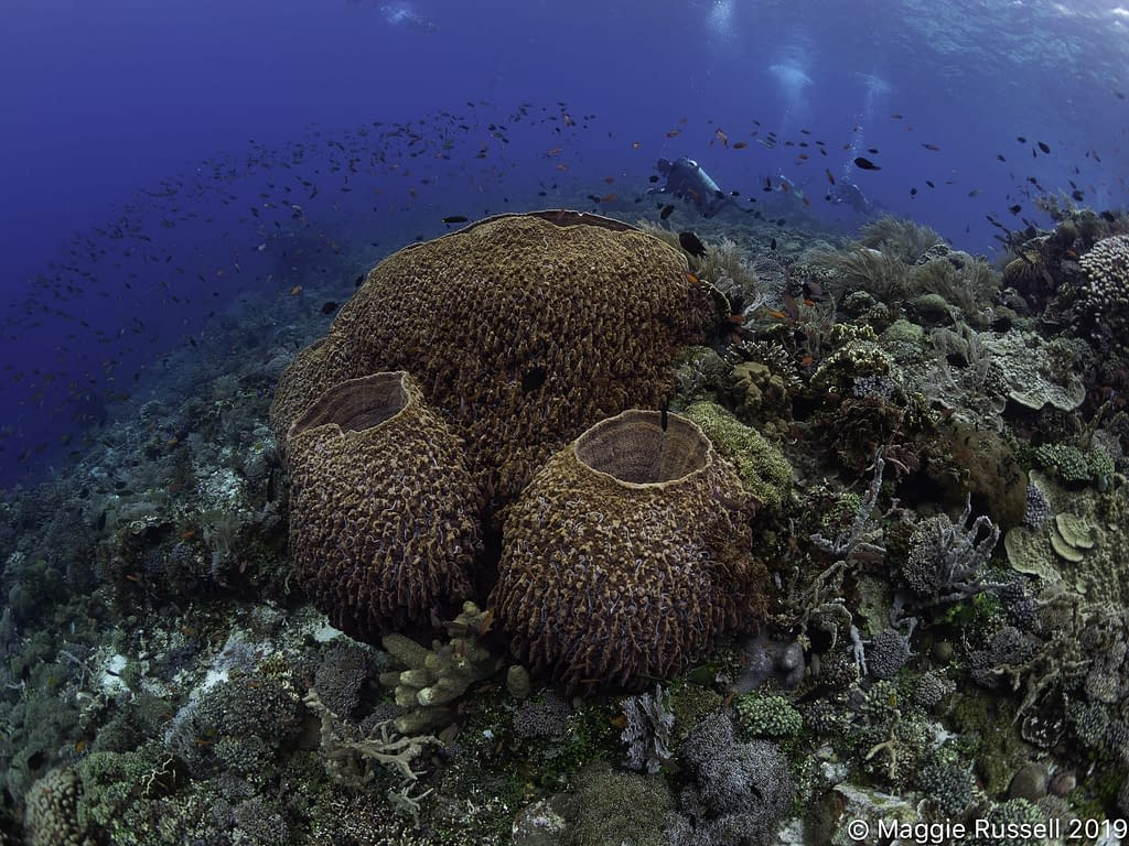 Barrel Sponges Alor Maggie Russell
