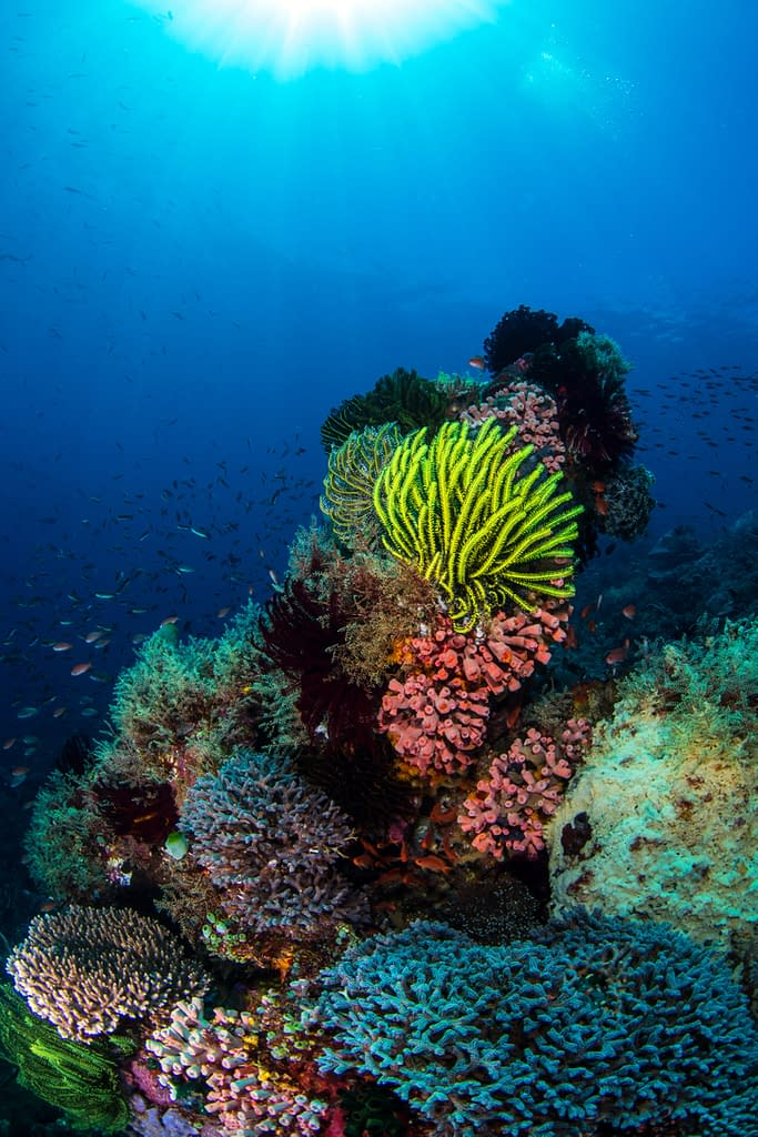 Coral Bommie Alor