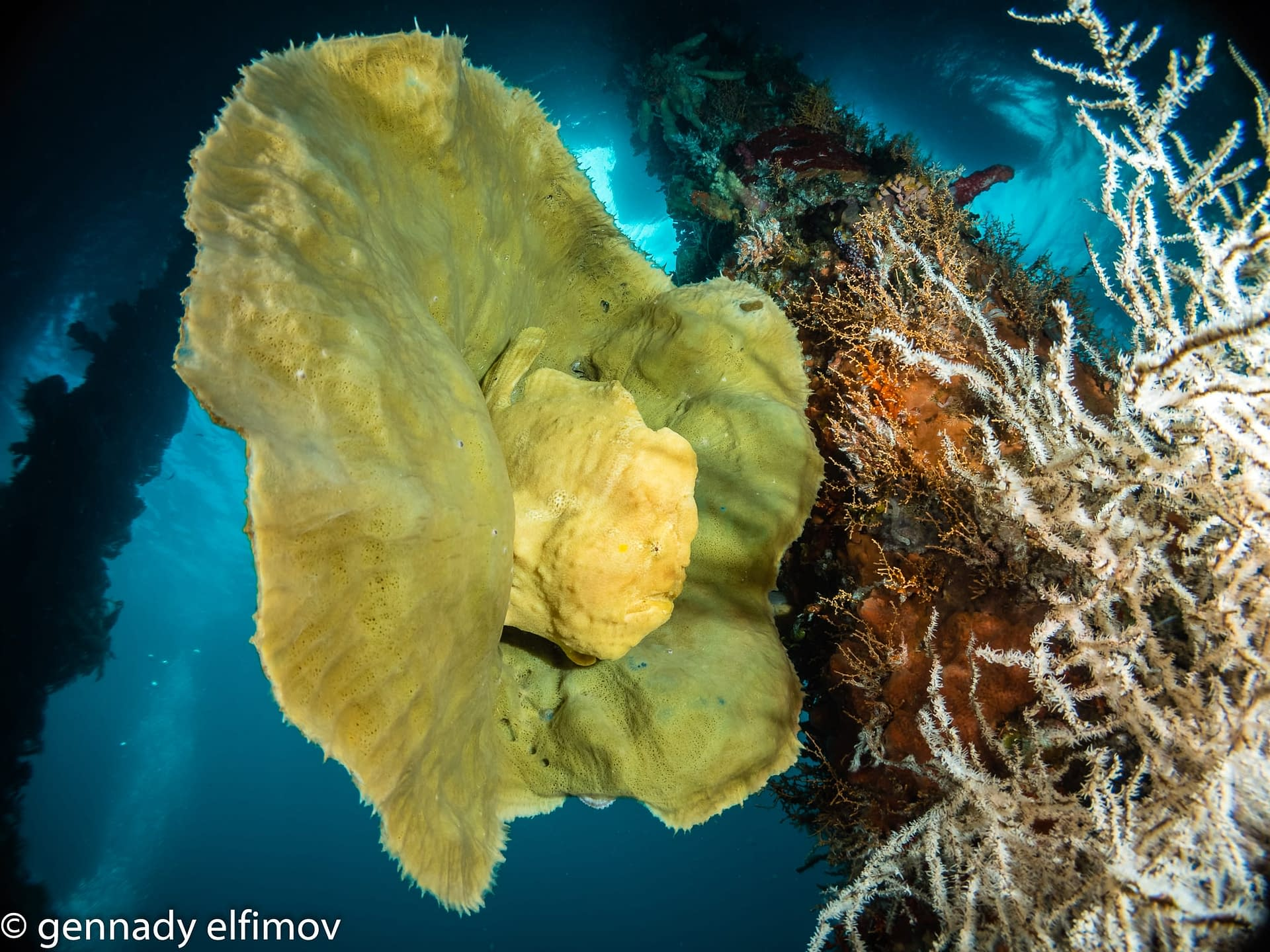 Frogfish on Sponge at Pier - Guest Gallery - Gennady Elfimov - Alami Alor Dive Resort