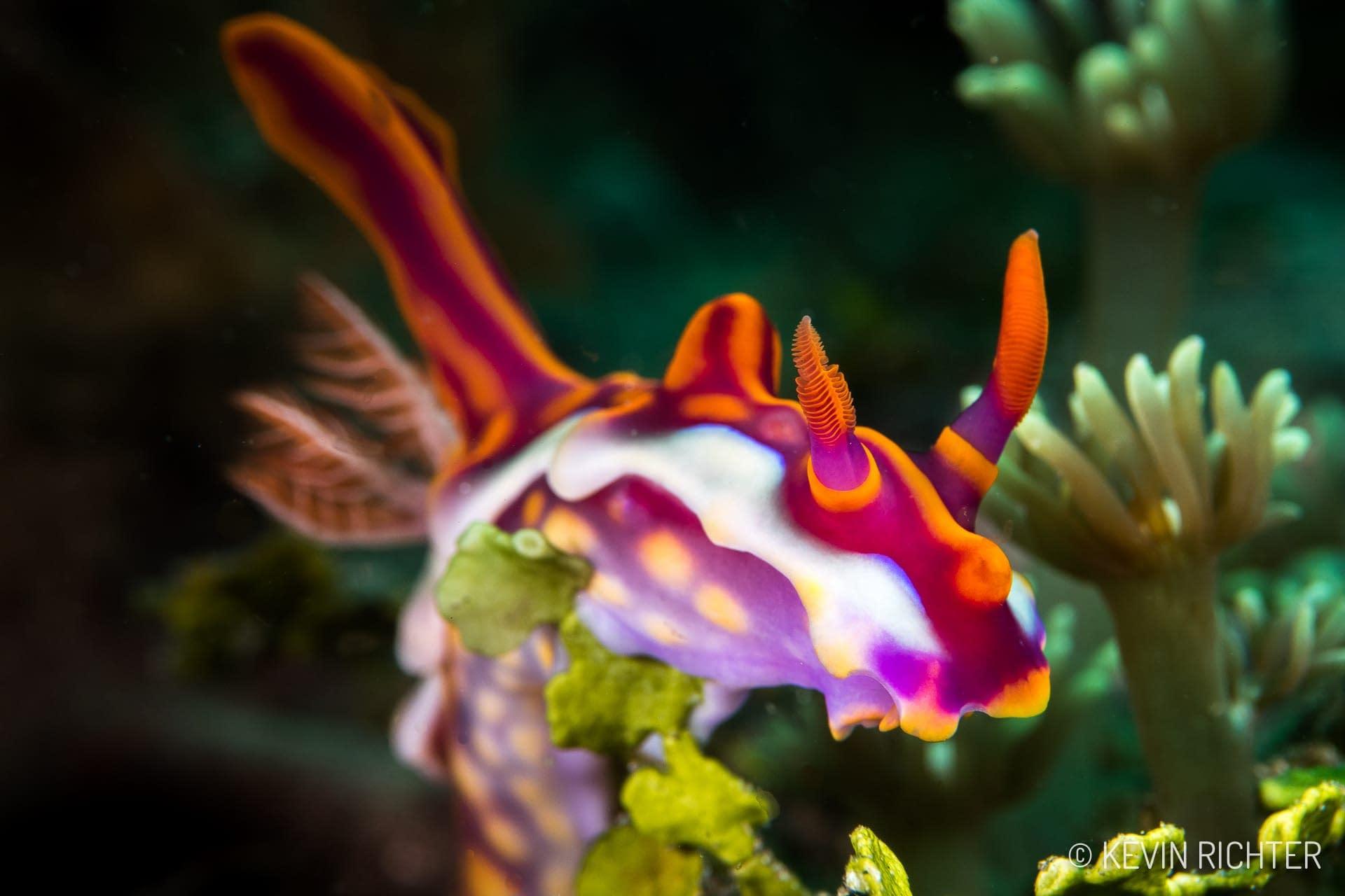 Miamira magnifica - Alor - Kevin Richter oceandiveloper.com